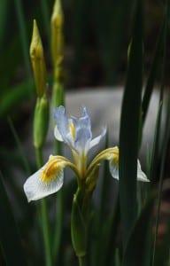 Iris Missouriensis, photo by Susan Marsh